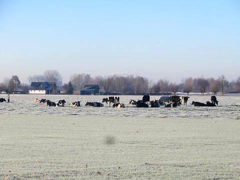 De koeien lopen in december 2016 nog in de wei